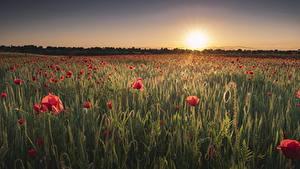 Fotos Sonnenaufgänge und Sonnenuntergänge Acker Mohnblumen Sonne