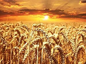 Hintergrundbilder Morgendämmerung und Sonnenuntergang Felder Weizen Ähren