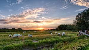 Hintergrundbilder Sonnenaufgänge und Sonnenuntergänge Grünland Hausschaf Himmel Gras Herde Zaun ein Tier