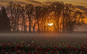 Fotos Sonnenaufgänge und Sonnenuntergänge Tulpen Viel Acker Bäume Nebel Sonne