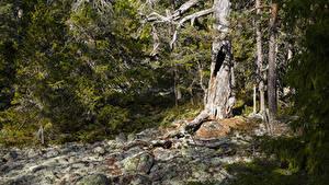 Hintergrundbilder Schweden Wälder Steine Fichten Hummelvik Natur