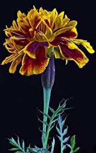Fotos Studentenblume Hautnah Schwarzer Hintergrund Blüte