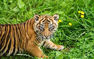 Bilder Tiger Jungtiere Sumatra-Tiger Gras Starren Tiere