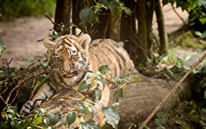 Bilder Tiger Jungtiere Amurtiger