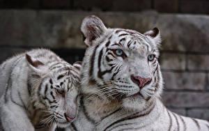 Fotos Tiger Jungtiere Große Katze Weiß Zwei