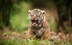 Bilder Tiger Jungtiere Große Katze Tiere