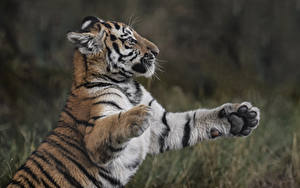 Hintergrundbilder Tiger Jungtiere Pfote
