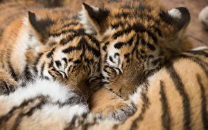 Bilder Tiger Jungtiere Schlaf 2