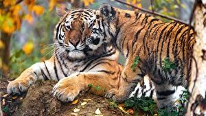 Tigris 2048x1152 Fondos De Pantalla Gratis 266 Fotos