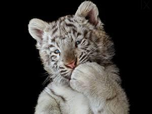 Bilder Tiger Jungtiere Weiß Schwarzer Hintergrund Pfote Tiere