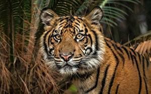 Images Tigers Staring Animals
