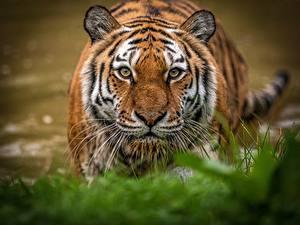 Hintergrundbilder Tiger Blick Schnauze Tiere
