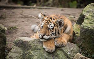 Bilder Tiger Steine Jungtiere Pfote