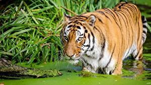 Fotos Tiger Sumpf ein Tier