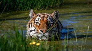 Hintergrundbilder Tiger Wasser Kopf Sumpf ein Tier