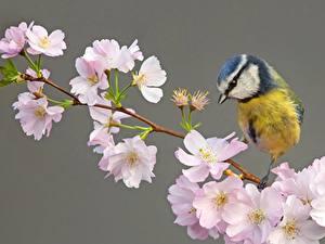 Fotos Meisen Vogel Blühende Bäume Ast Japanische Kirschblüte ein Tier Blumen