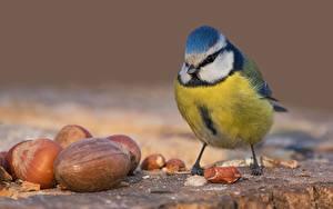 Bilder Meise Vögel Schalenobst Nahaufnahme Tiere