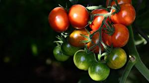 Images Tomatoes Closeup Branches Green Food