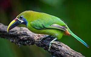 Desktop hintergrundbilder Tukane Vögel Ast emerald toucanet Tiere