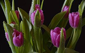 Fotos Tulpen Schwarzer Hintergrund Tropfen Rosa Farbe Blumen