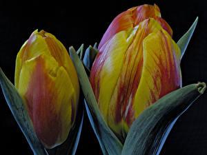 Bilder Tulpen Großansicht Schwarzer Hintergrund Blumen