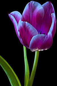 Fotos Tulpen Großansicht Schwarzer Hintergrund Blüte