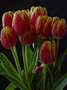 Fotos Tulpen Großansicht Schwarzer Hintergrund Tropfen Blumen