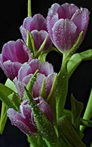 Bilder Tulpen Großansicht Schwarzer Hintergrund Tropfen Blüte