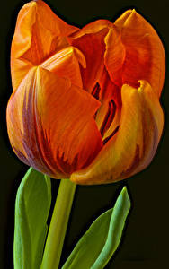 Wallpapers Tulip Closeup Black background Orange flower