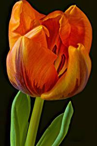 Papel de Parede Desktop Tulipa De perto Fundo preto Laranja flor