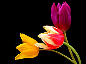 Fotos Tulpen Großansicht Schwarzer Hintergrund Drei 3 Blüte