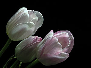 Bakgrundsbilder på skrivbordet Tulpansläktet Närbild Svart bakgrund Tre 3 Blommor