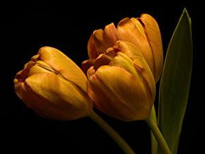 Bureaubladachtergronden Tulp Van dichtbij Zwarte achtergrond Drie 3 Oranje bloem