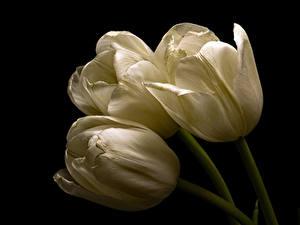 Hintergrundbilder Tulpen Hautnah Schwarzer Hintergrund Drei 3 Weiß Blumen