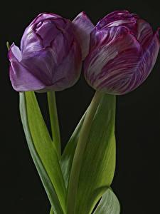 Bilder Tulpen Großansicht Schwarzer Hintergrund 2 Blumen