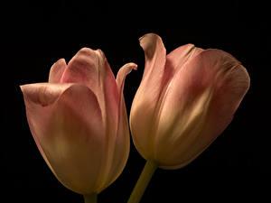 Fotos Tulpen Hautnah Schwarzer Hintergrund Zwei Blüte