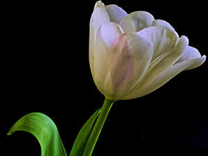 Hintergrundbilder Tulpen Nahaufnahme Schwarzer Hintergrund Weiß Blüte