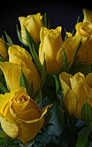 Bilder Tulpen Nahaufnahme Schwarzer Hintergrund Gelb Blüte