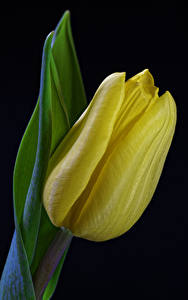 Image Tulips Closeup Black background Yellow Flowers