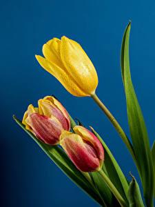 Desktop hintergrundbilder Tulpen Großansicht Farbigen hintergrund Drei 3 Tropfen Blumen