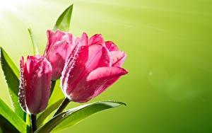 Desktop hintergrundbilder Tulpen Hautnah Tropfen Rosa Farbe Farbigen hintergrund Blüte