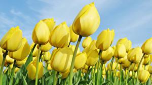Hintergrundbilder Tulpen Großansicht Viel Gelb Blüte