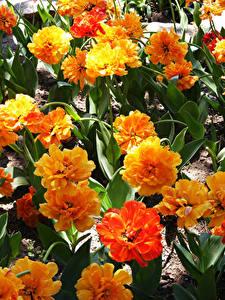 Fotos Tulpen Großansicht Orange Blumen