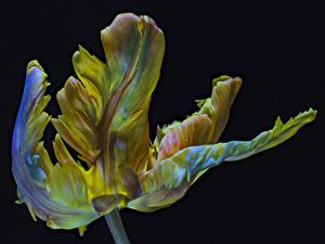 Fotos Tulpen Hautnah Schwarzer Hintergrund Parrot Tulip Blumen
