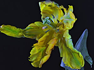 Image Tulips Closeup Black background Parrot Tulip Flowers