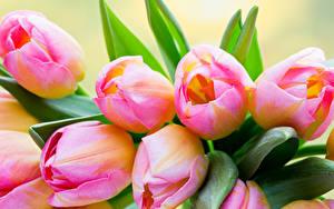 Fotos Tulpen Großansicht Rosa Farbe Blumen