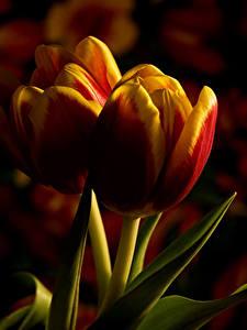 Bilder Tulpen Großansicht 2 Blumen