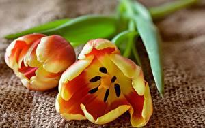 Tapety na pulpit Tulipan Zbliżenie Dwóch kwiat