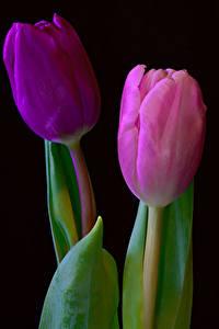 Desktop hintergrundbilder Tulpen Großansicht 2 Schwarzer Hintergrund Blüte