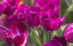 Hintergrundbilder Tulpen Hautnah Violett Tropfen Unscharfer Hintergrund Blüte